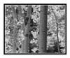 Golden Autumn Aspens in Woodland Park, Colorado 2837bw