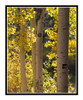 Golden Autumn Aspens in Woodland Park, Colorado 2838