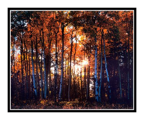 Aspens in Autumn in Mueller State Park, Colorado 743