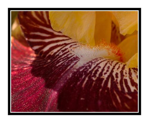 Yellow & Red Iris Flower Detail in a Garden 1264
