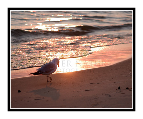 Seagull Walking Across the Beach on Lake Michigan, St. Ignace, Michigan 897