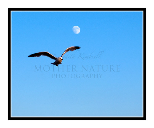 Seagull Flying Against the Moon on Lake Michigan, St. Ignace, Michigan 873