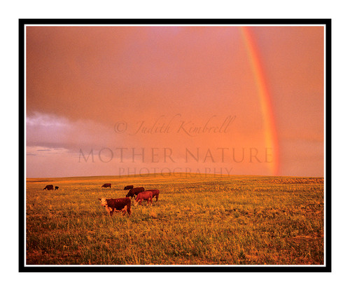 Cows in a Field with a Rainbow in Peyton, Colorado 787