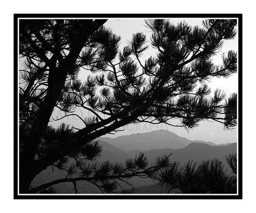 Pikes's Peak Through a Pine Tree in Gods in Colorado Springs, Colorado 316 B&W