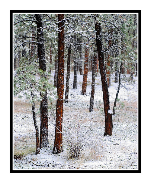 Black Forest Pine Trees in Winter Snow in Colorado Springs, Colorado 841
