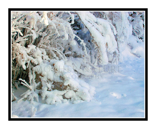 Snow Covered Bushes and Grass in Winter, Colorado 2076