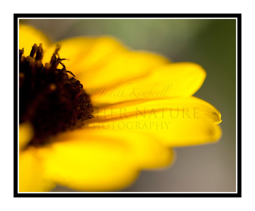 Yellow Sunflower Detail in a Garden 1825