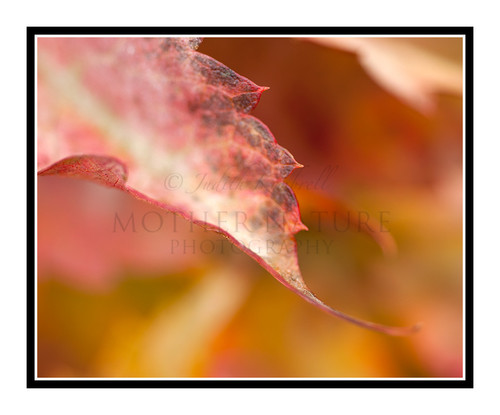 Virginia Creeper Detail in Autumn 1846