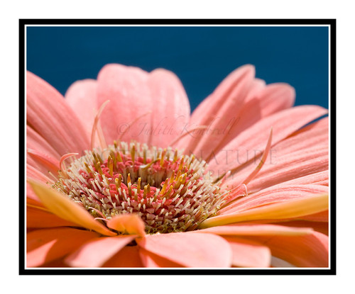 Pink Sunflower Flower Detail 1715