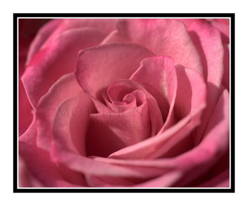 Pink Rose Detail Bathed in Light 2459