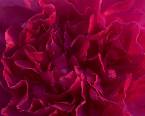 Fuchsia Peony Flower Detail 2453