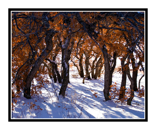 Scrub Oak in Winter Snow in Garden of the Gods, Colorado 1498