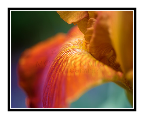 Orange Iris Detail in a Garden 2475