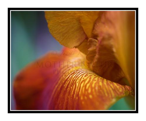 Orange Iris Detail in a Garden 2477