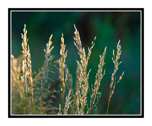 Grass Back Lit Against a Green Background 1065