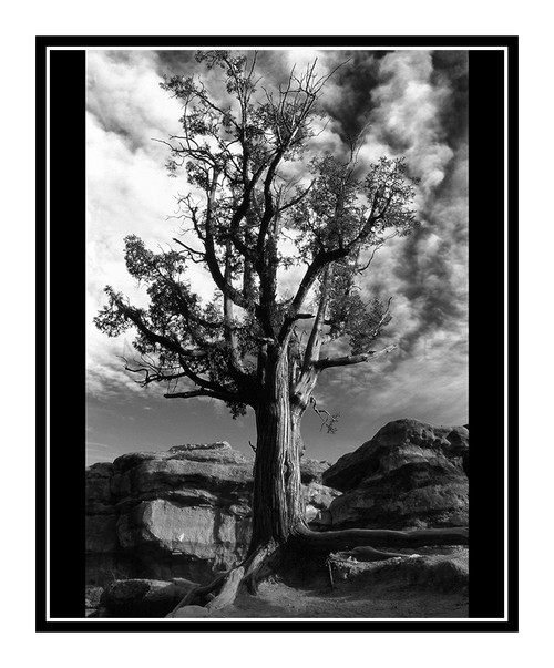 Juniper Tree in Garden of the Gods in Colorado Springs, Colorado 247 B&W