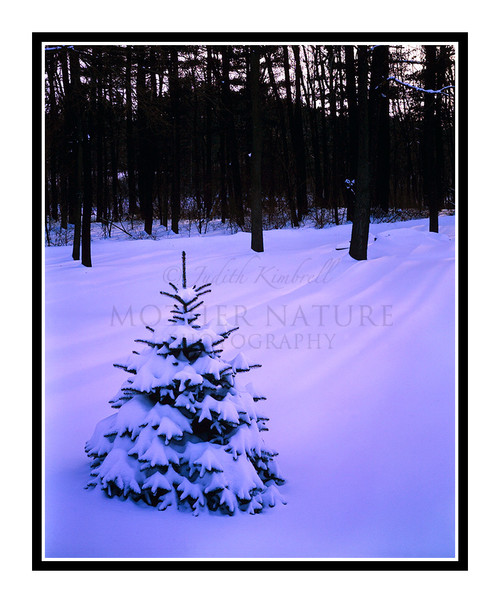 Pine Tree Covered in Winter Snow at Sunset in Hillsdale, Michigan 104