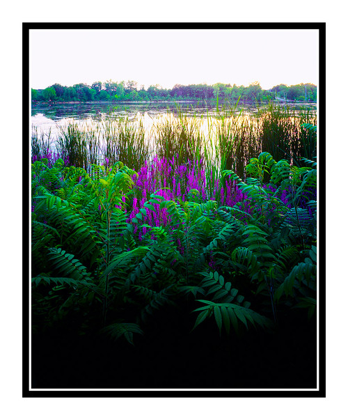 Ferns and Cattails on a Pond in Hillsdale, Michigan 103