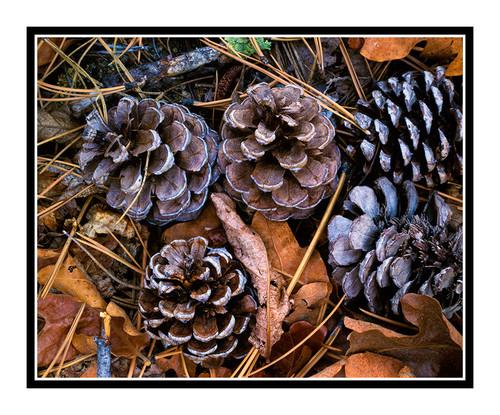 Pinecone & Leaf Texture in Colorado 117
