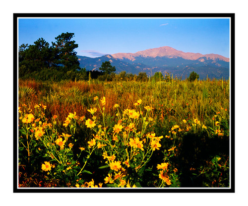 Pike's Peak over Sunflowers in Palmer Park in Colorado Springs, Colorado 48