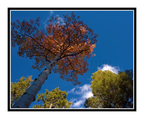 Aspen Tree in Autumn Mueller State Park, Colorado 2509
