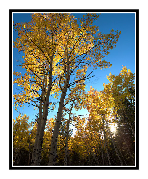 Golden Aspens in Autumn Mueller State Park, Colorado 2514