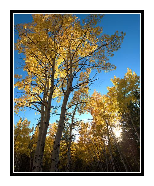 Golden Aspens in Autumn Mueller State Park, Colorado 2514