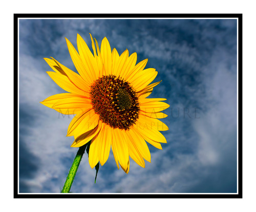 Yellow Sunflower Detail 2539