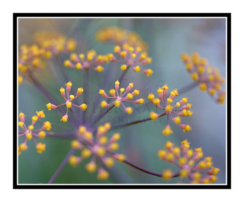 Fennel Seed Flower Detail in a Garden 2530