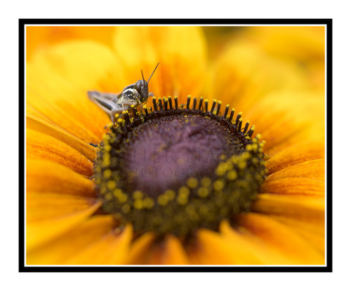 Grasshopper on a Yellow Sunflower in a Garden 2622