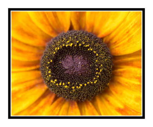 Yellow Sunflower Detail in a Garden 2621