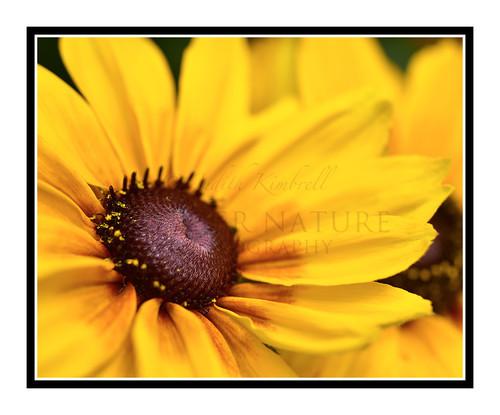 Yellow Sunflower Detail in a Garden 2620