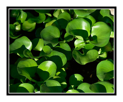 Green Hyacinth Leaves in a Pond in Summer 2695