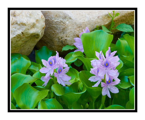 Purple Hyacinth Flowers in a Pond in Summer 2698