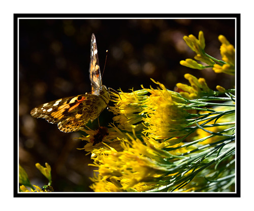 Painted Lady Butterfly on Yellow Flowers 2711