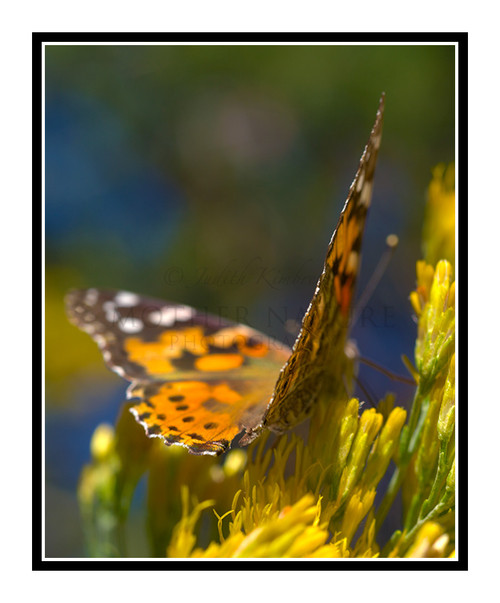 Painted Lady Butterfly on Yellow Flowers 2721