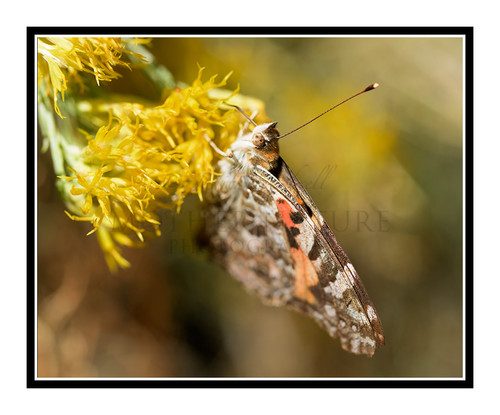 Painted Lady Butterfly on Yellow Flowers 2728