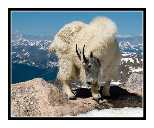 Mountain Goats at Mt. Evans, Colorado 1503