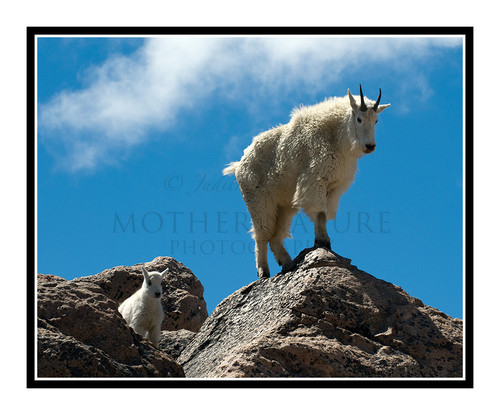 Mountain Goats at Mt. Evans, Colorado 1504