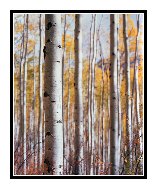 Golden Autumn Aspens 175