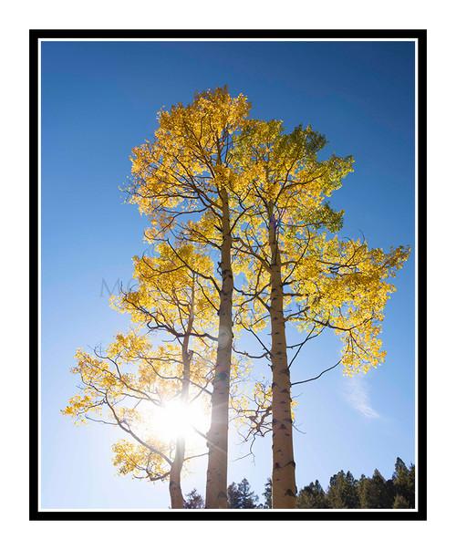 Golden Autumn Aspens in Mueller State Park, Colorado 2852