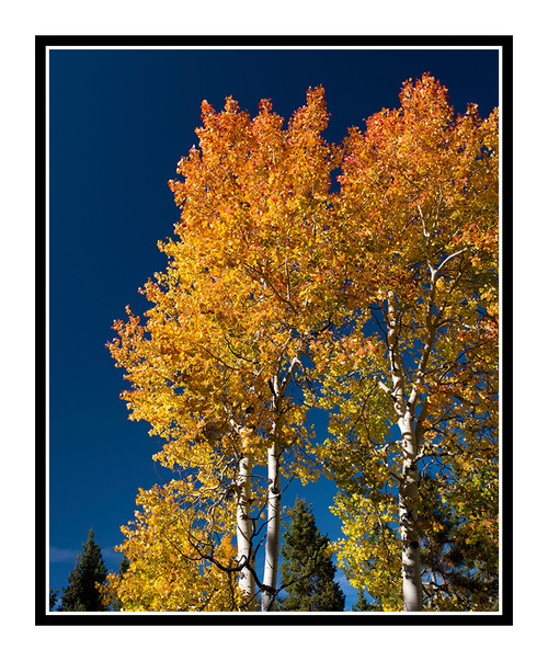 Golden Autumn Aspens in Mueller State Park, Colorado 2854