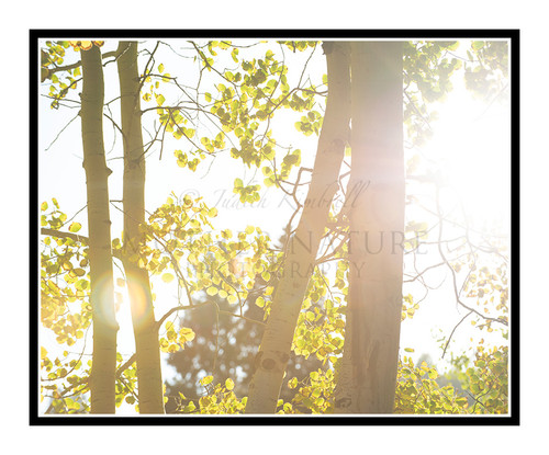 Golden Autumn Aspens in Woodland Park, Colorado 2835