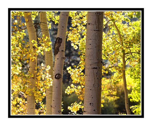 Golden Autumn Aspens in Woodland Park, Colorado 2837