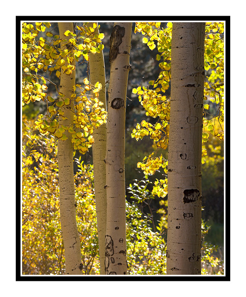 Golden Autumn Aspens in Woodland Park, Colorado 2838