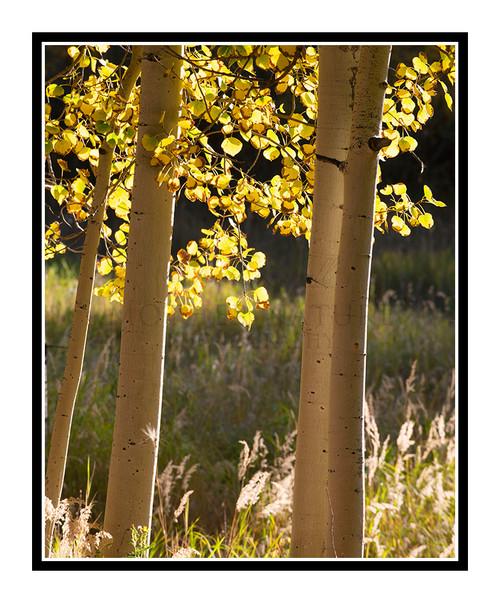 Golden Autumn Aspens in Woodland Park, Colorado 2840