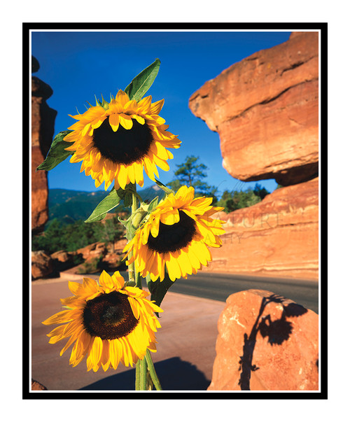 Sunflowers with Balanced Rock in Garden of the Gods, Colorado 39