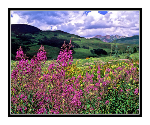 Pink Wildflowers Against the Rocky Mountains in Crested Butte, Colorado  780