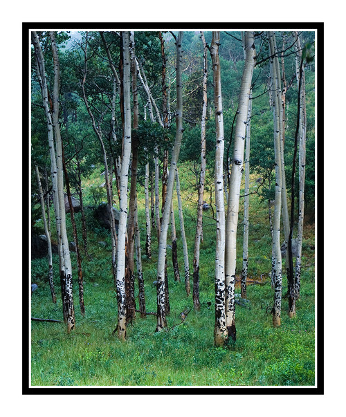 Summer Aspens in Rocky Mountain National Park, Colorado 958
