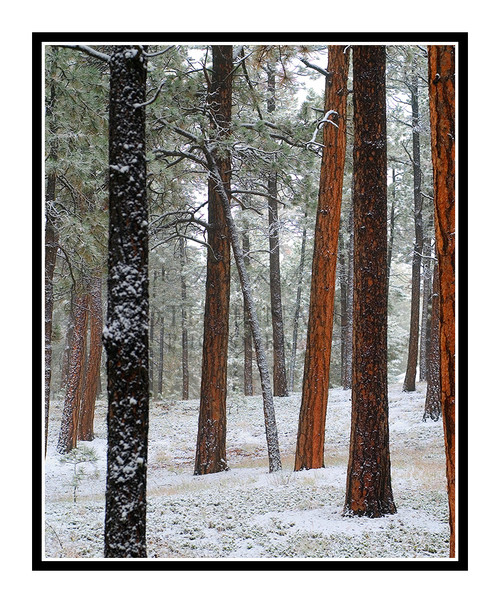 Black Forest Pine Trees in Winter Snow in Colorado Springs, Colorado 842